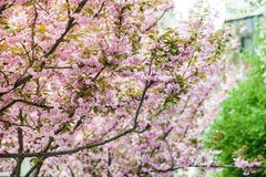 Kirschbl?te ist- eine Blume einiger B?ume der Klasse Prunus, besonders die japanische Kirsche, Prunus serrulata, das s genannt wi stockbild