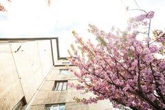Kirschbl?te ist- eine Blume einiger B?ume der Klasse Prunus, besonders die japanische Kirsche, Prunus serrulata, das s genannt wi lizenzfreie stockfotos