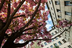 Kirschbl?te ist- eine Blume einiger B?ume der Klasse Prunus, besonders die japanische Kirsche, Prunus serrulata, das s genannt wi stockfotografie