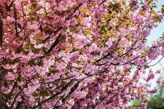 Kirschbl?te ist- eine Blume einiger B?ume der Klasse Prunus, besonders die japanische Kirsche, Prunus serrulata, das s genannt wi lizenzfreie stockbilder