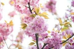 Kirschbl?te ist- eine Blume einiger B?ume der Klasse Prunus, besonders die japanische Kirsche, Prunus serrulata, das s genannt wi stockbilder