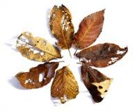 Kirschblatt mit vielen Löchern Stockfoto