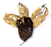 Kirschblatt mit vielen Löchern Stockfotos