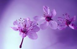 Kirschblüte Stockfotos