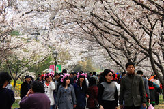 Kirschblütenfestival von Peking Stockbilder
