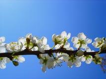 Kirschblume Lizenzfreie Stockbilder