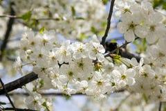 Kirschblume Stockfotografie