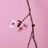 Kirschblume Lizenzfreies Stockbild