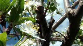 Kirschblume in Blüte 05 stock footage