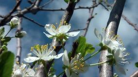 Kirschblume in Blüte 03 stock video footage