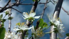 Kirschblume in Blüte 03 stock footage