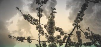 Kirschblume und bewölkter Himmel lizenzfreie stockbilder