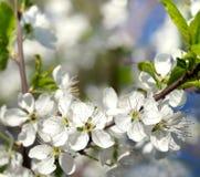Kirschblumen Lizenzfreie Stockfotos