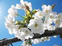 Kirschblumen Stockbilder