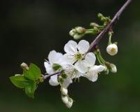 Kirschblumen Lizenzfreies Stockfoto