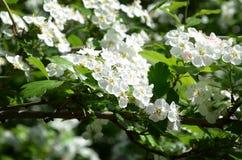 Kirschblumen auf Frühling lizenzfreies stockbild