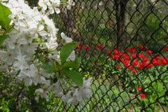 Kirschblumen auf Niederlassung nahe Diamantmaschenzaun des Gartens Tulpen mit selektivem Fokus stockfotos