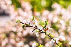 Kirschblumen auf Zweig Lizenzfreies Stockbild