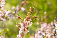 Kirschblumen auf Zweig Lizenzfreie Stockbilder