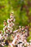 Kirschblumen auf Zweig Lizenzfreies Stockfoto