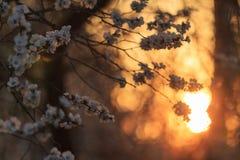 Kirschblumen bei Sonnenuntergang lizenzfreie stockbilder