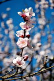 Kirschblumen in der Blüte Stockfoto