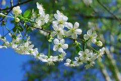 Kirschblumen an einem sonnigen Tag stockfoto