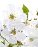 Kirschblumen. Makro stockfotografie