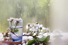 Kirschblumen und -niederlassungen Lizenzfreie Stockbilder