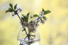 Kirschblumen und -niederlassungen grünen Hintergrundlaubregen Lizenzfreies Stockfoto