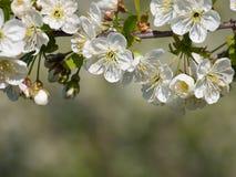 Kirschblumenhintergrund Stockfoto