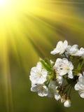 Kirschblumenhintergrund Stockfotografie