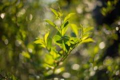 Kirschbusch bei Wachstum lizenzfreies stockbild