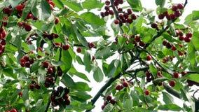 Kirsche auf dem Baum 4k stock footage