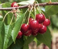 Kirsche auf einem Baum im Garten Lizenzfreies Stockfoto