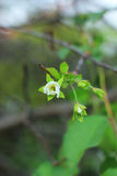 Kirsche blüht Blüte stockfotos