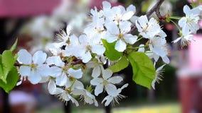 Kirsche blüht das Blühen im Frühjahr, das von defocus zu Fokus sich bewegt stock video