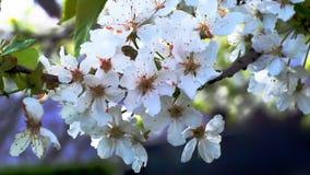 Kirsche blüht das Blühen im Frühjahr, das im Wind swining ist stock footage