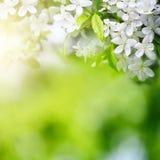 Kirsche blüht im Sonnenlicht auf grünem Hintergrund Stockbild