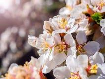 Kirsche blüht orientalisches Weiß der Blüte gegen blauen Himmel des Hintergrundes mit Sonnenscheinstrahlnmakroschuß Lizenzfreie Stockfotografie