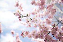Kirsche-Blüte Stockfotografie