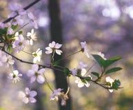 Kirsche-blosom Stockfoto