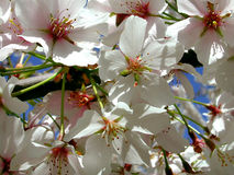 Kirsche Blossums lizenzfreie stockfotos