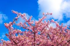Kirsche, die mit klarem blauem Himmel im Hintergrund blüht stockfotos