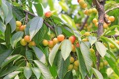 Kirsche in einer Plantage Stockbilder