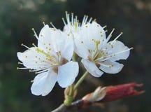 Kirsche Kirschblüten, Blumen Stockbild