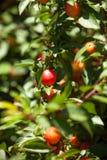 Kirsche-Pflaumenbaum mit dem Fruchtwachsen im Garten Stockbilder
