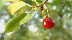 Kirsche und eine Wespe Langsame Bewegung Nahaufnahme