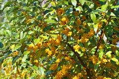 Kirscheelaeagnus, Elaeagnus multiflora stockfotos