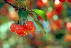 Kirschen auf dem Baum Stockfotos